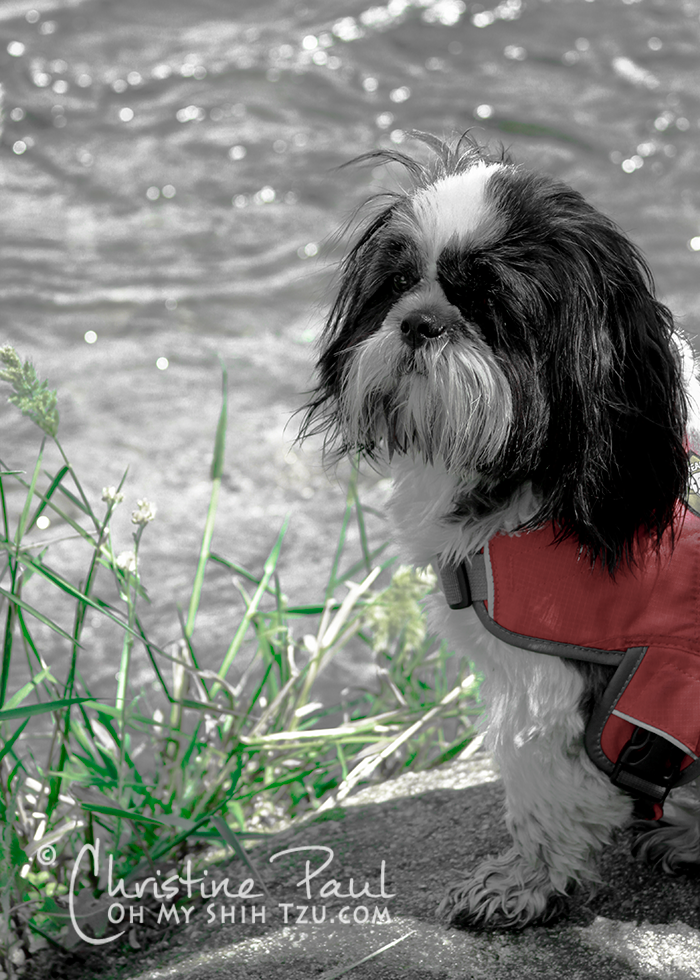 Beautiful Shih Tzu Service Dog
