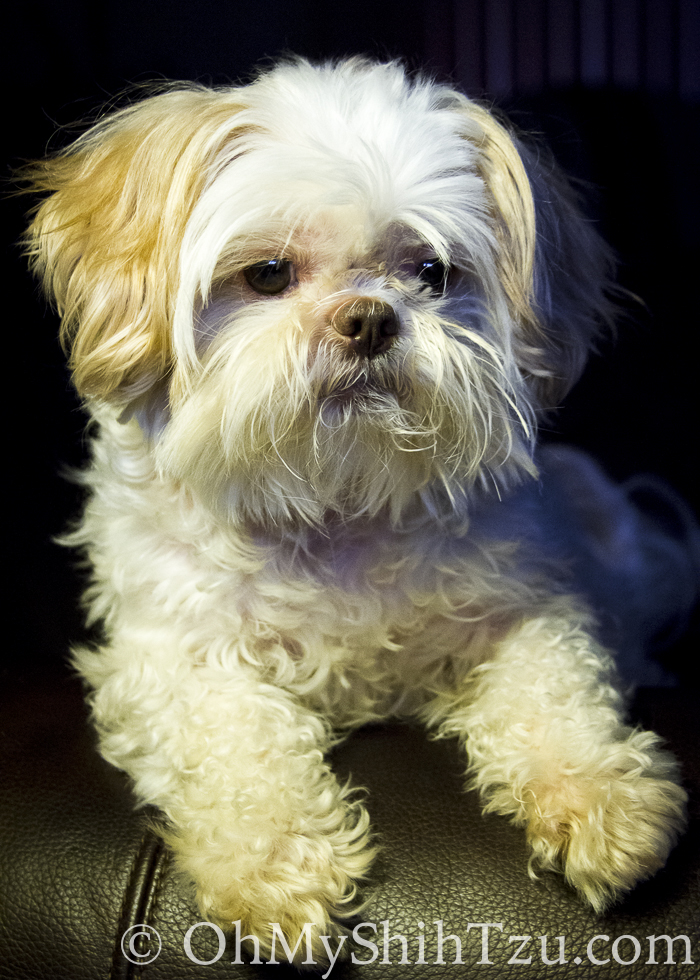 Ise Shih Tzu is Love Bug for Wordless Wednesday Blog Hop