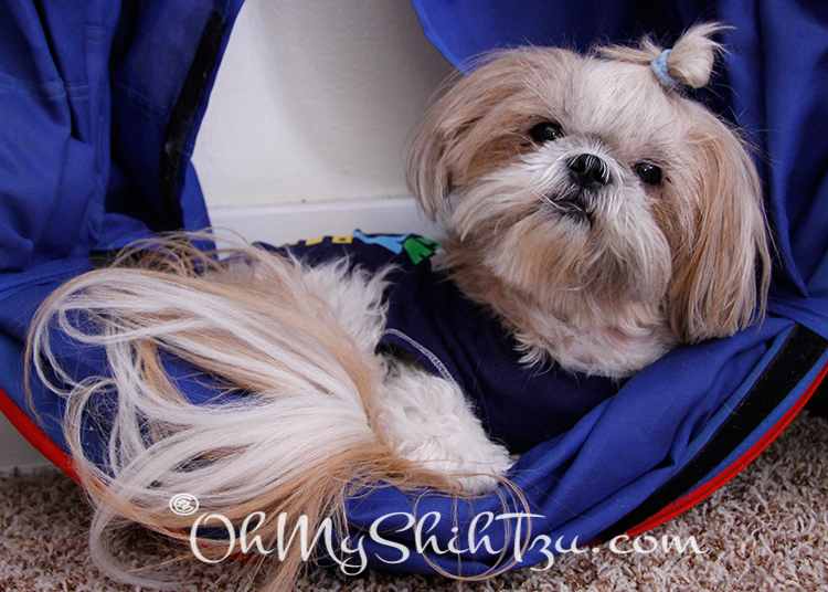 Shih Tzu hanging out in a folded up agility tunnel.