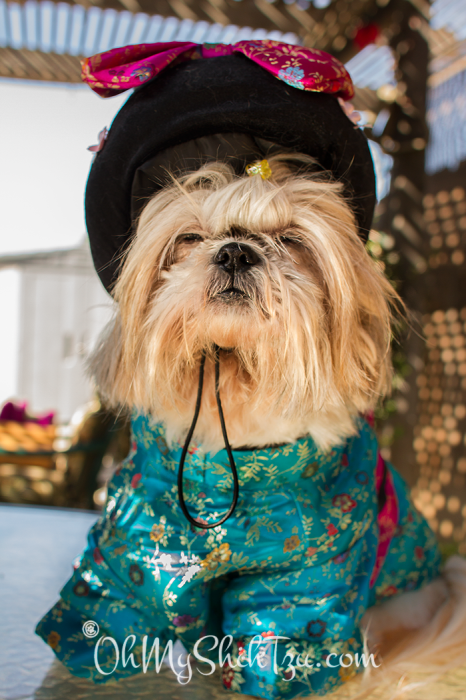 Shih Tzu dressed as a Geisha
