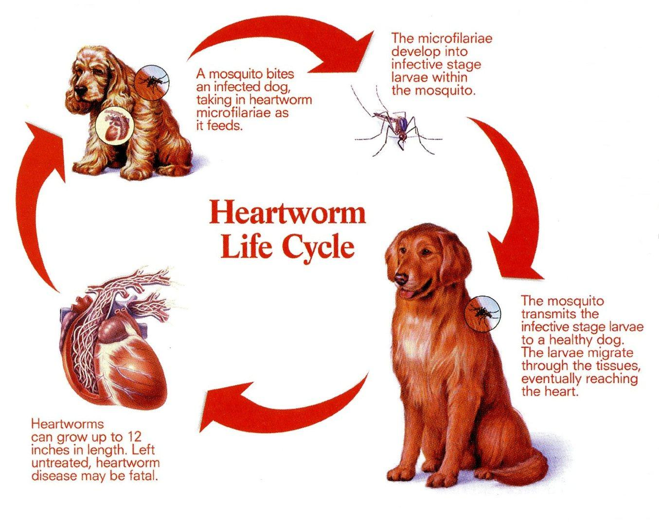 heart in adult killing dogs worms