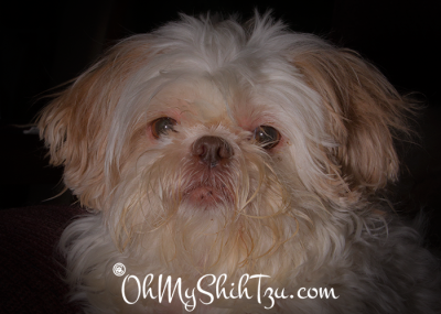 Ise the Shih Tzu