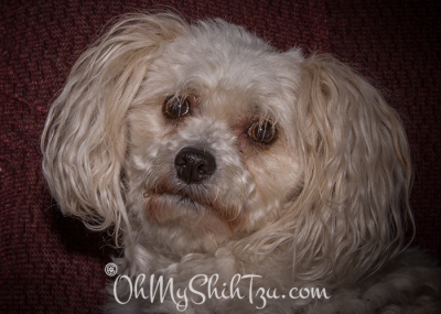 Molly the Malti-Poo