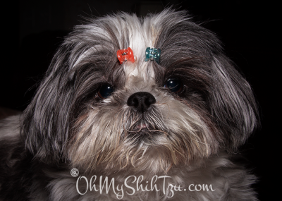 Trixie the Shih Tzu