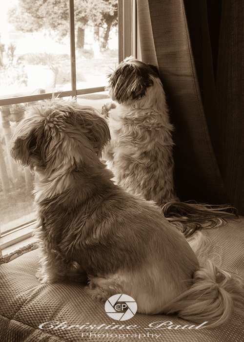 Shih Tzus looking out a window