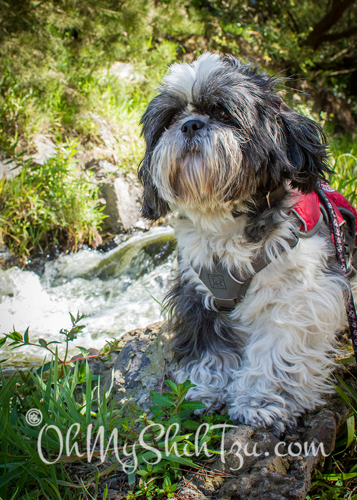 Riley Shih Tzu on top of a rock at Golden Gate Park