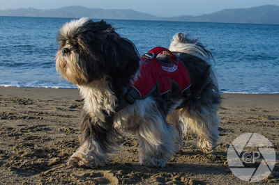 Shih Tzu on Beach