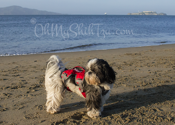 Shih Tzu on the Beach