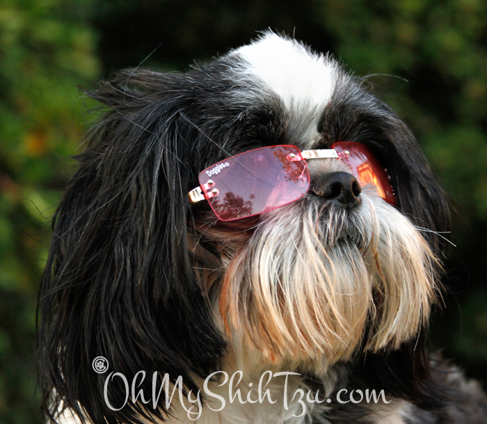 Shih Tzu wearing Doggles