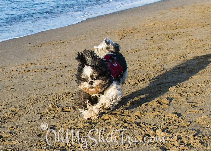Riley Shih Tzu running on Beach at Chrissy Field