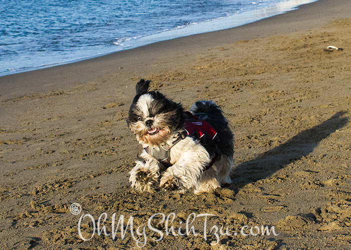 Riley Shih Tzu Running on Beach