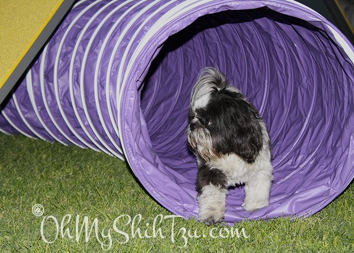 Shih Tzu Through Agility Tunnel