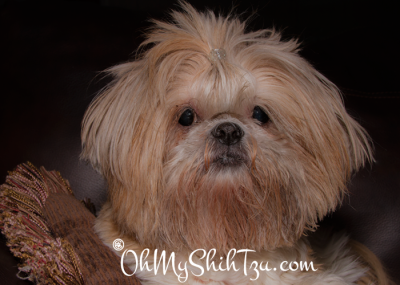 Katie the Shih Tzu