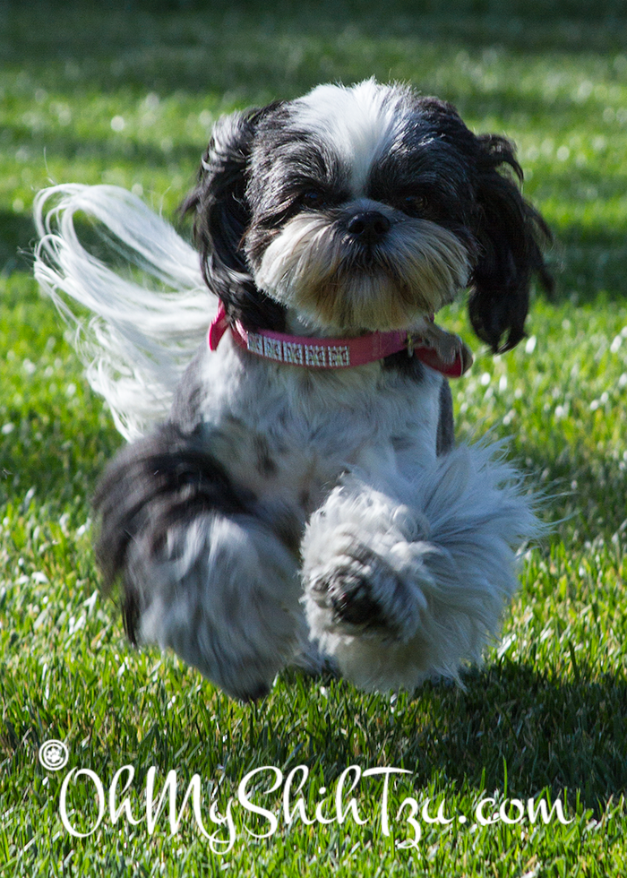Riley Shih Tzu running at Blogpaws Dog Park