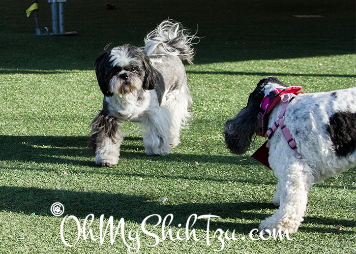 Shih Tzu and Cocker Spaniel at Blogpaws Dog Park