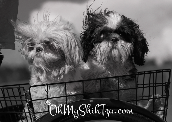 Black & White Sunday Shih Tzus Going for a Ride