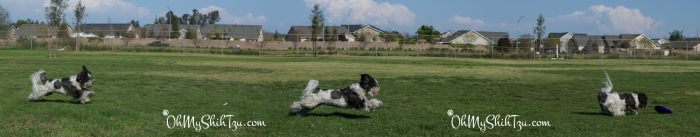 Disc Dog Shih Tzu