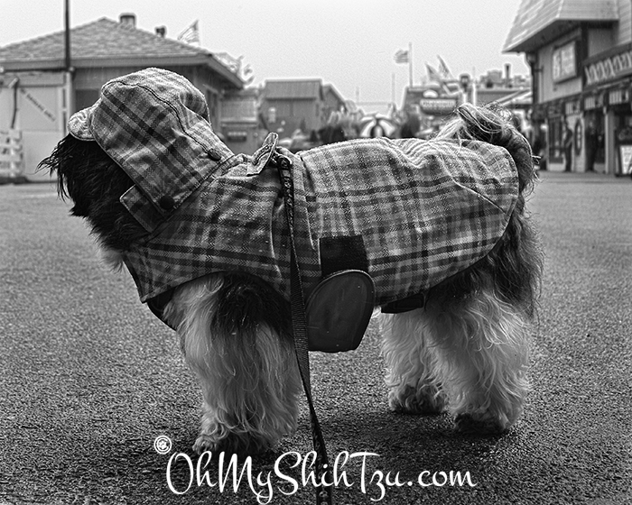 Black n White Sunday Shih Tzu in rain jacket at wharf