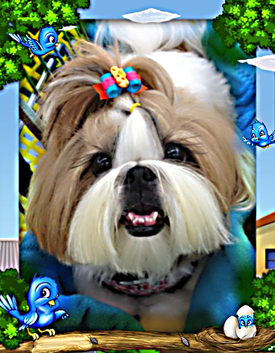 Super Shih Tzu Saturday Chloe