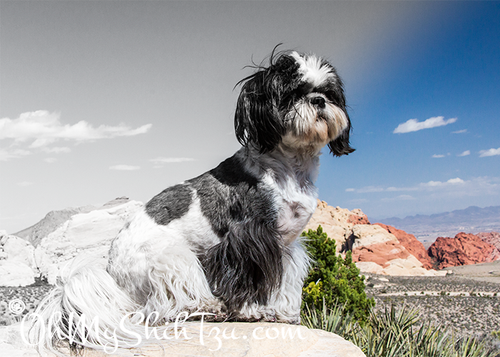 Desert Daydreaming Shih Tzu