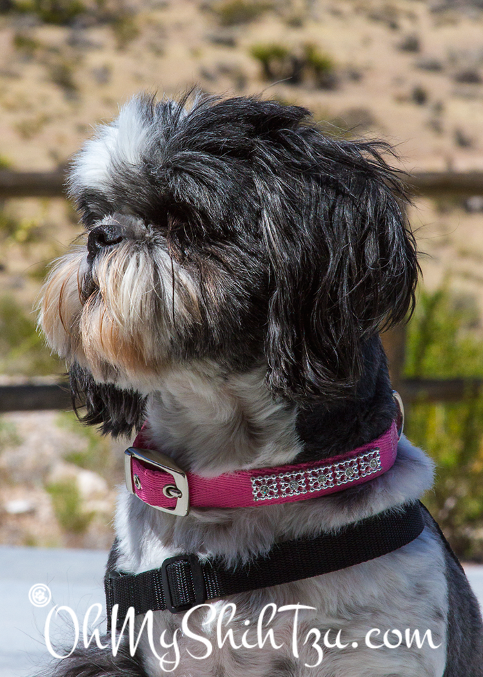 Desert Girl Shih Tzu visits Red Rock Canyon