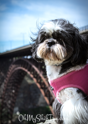 Perrine Bridge Riley Shih Tzu
