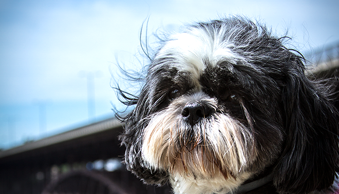 Perrine Bridge Shih Tzu