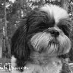 Riley Shih Tzu in Truckee