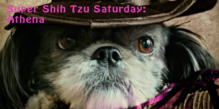 Super Shih Tzu Saturday - Athena