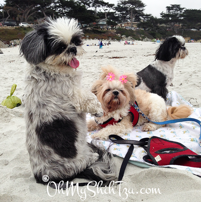 Shih Tzus on the Beach