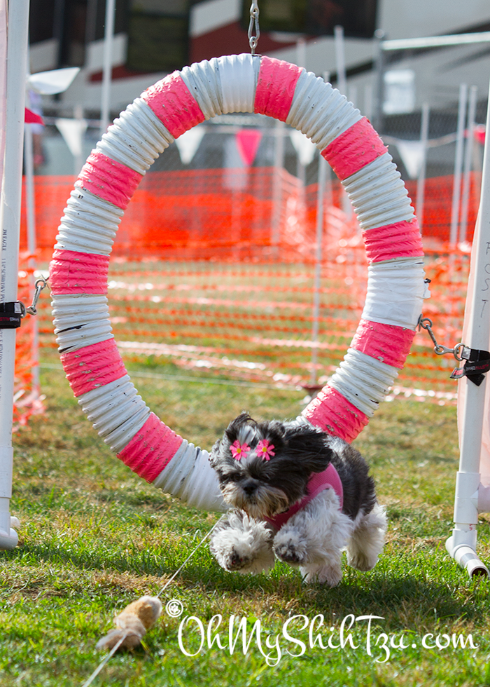 Lure Course Shih Tzu