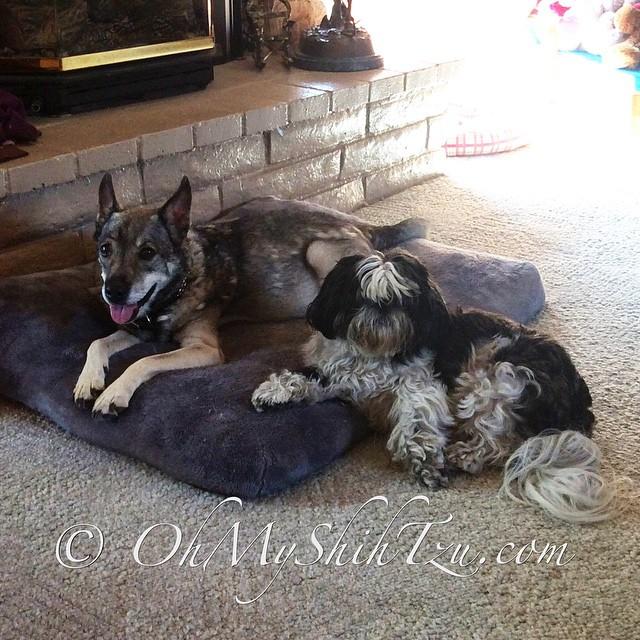Riley staying by Kyra's side... #dogs #dogsofinstagram #olddogs