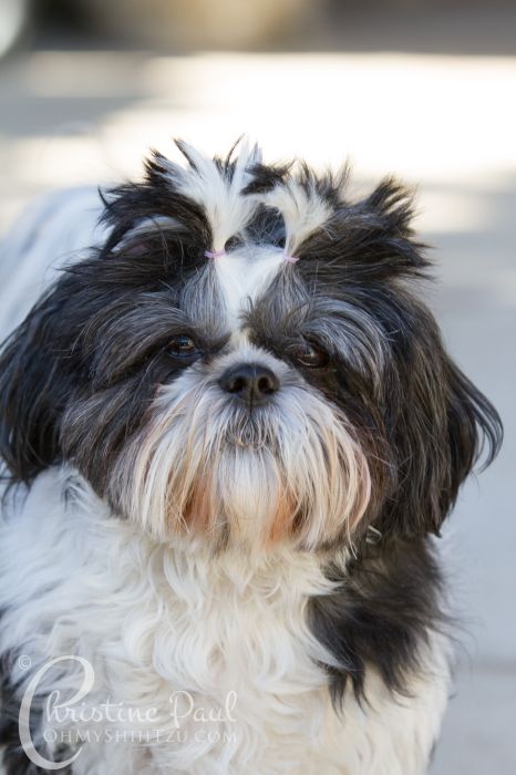 Shih Tzu Goals for the New Year