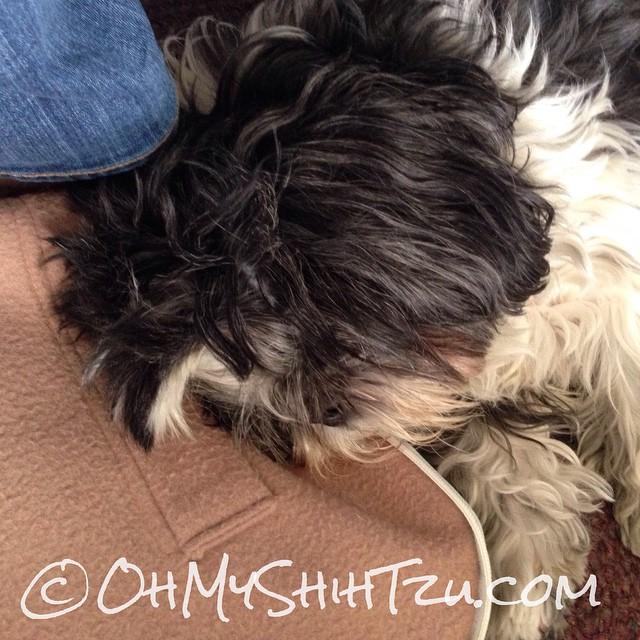 Sleep #shihtzu as I'm learning more about WP child themes. #dogsofinstagram #dogs #shihtzusofinstagram