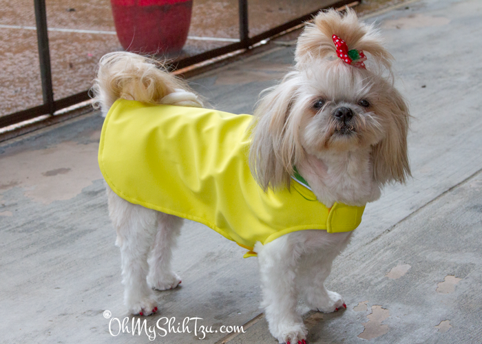 Astoria Overcoat Shih Tzu Product Review