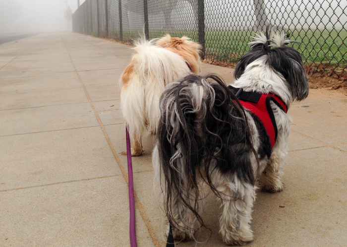 3 Beneifts of Weight Loss for Shih Tzus: Trixies Triumph