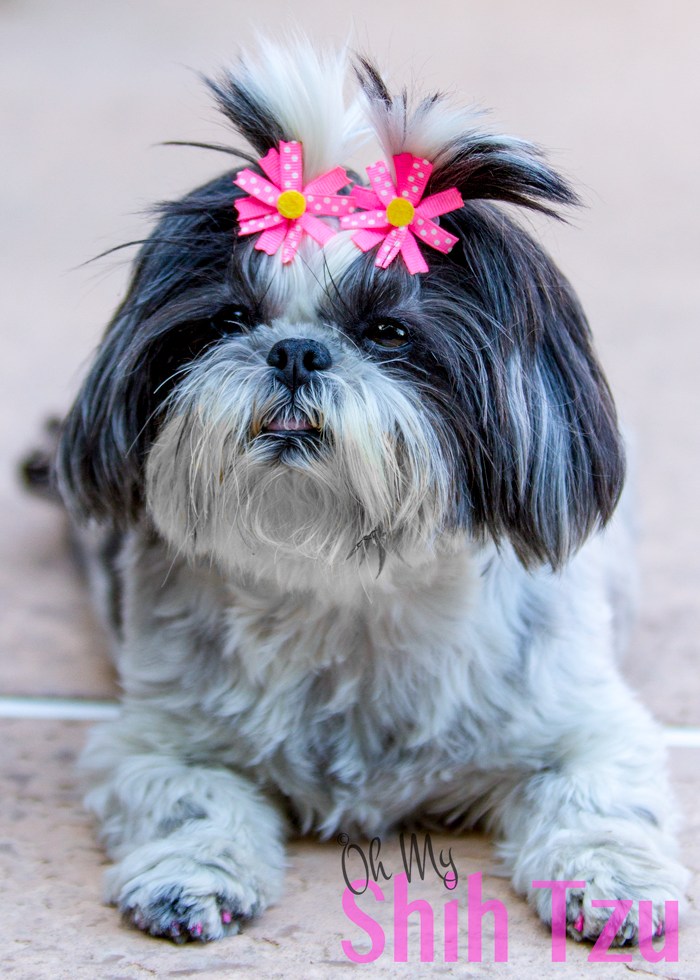 3 Benefits of Weight Loss for Shih Tzus