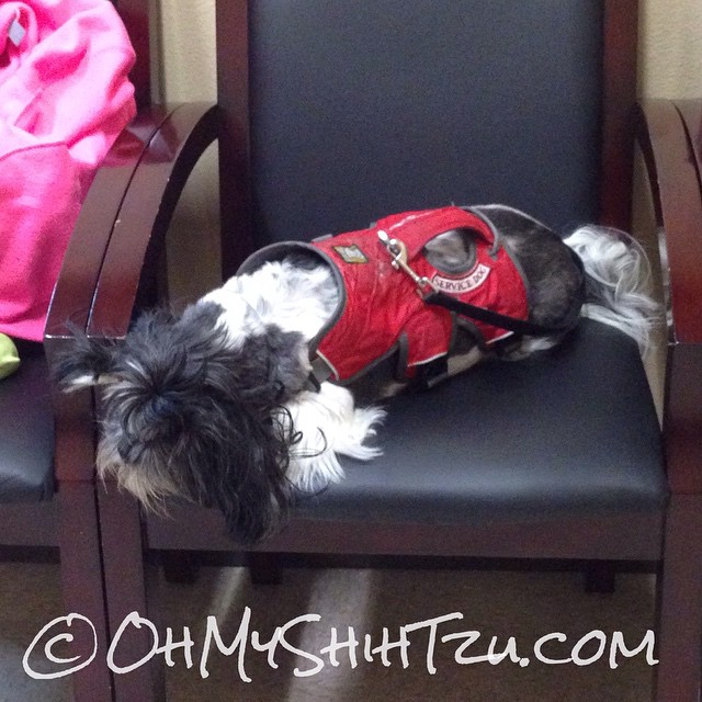 Someone is bored waiting at the podiatrist office! #diabetic #shihtzu #dogs #dogsofinstagram