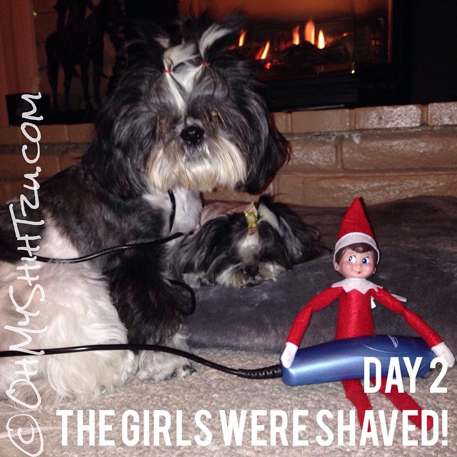 I walked into the living room to find this... Poor Riley & Trixie! #elfontheshelf #shihtzu #dogs #dogsofinstagram