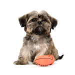 Keep Your Dog Safe During a Super Bowl Party Shih Tzu with Football