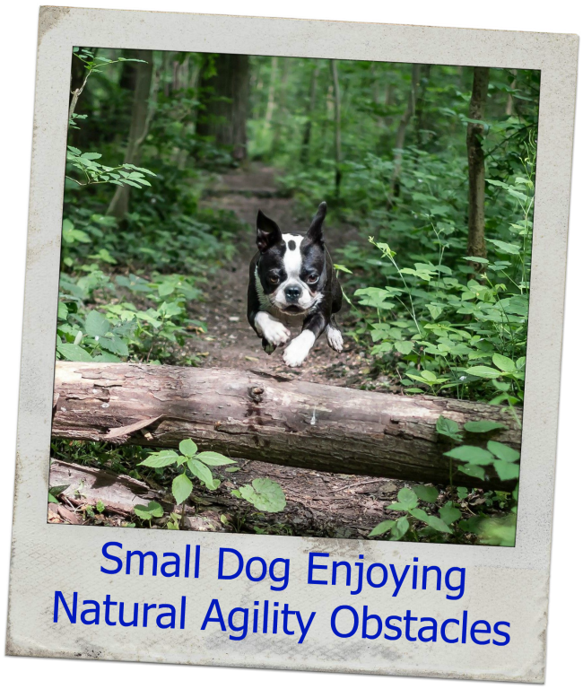 Boston Terrier Jumping Log Small Dog Agility