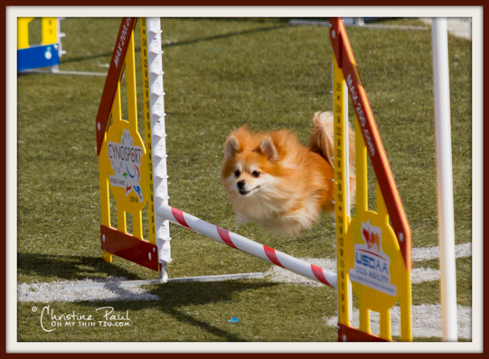 Small Dog Agility Pomeranian Jumps Obstacle