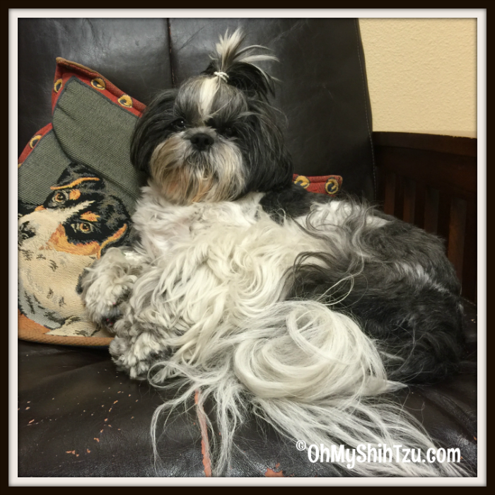 Pet Parent Shih Tzu on Couch