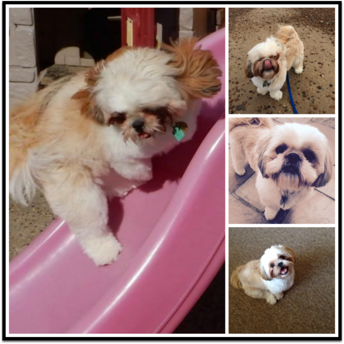 Super Shih Tzu Collage of Charlie