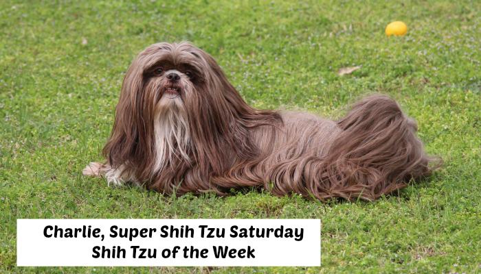 Super Shih Tzu