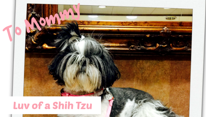 Love of a Shih Tzu