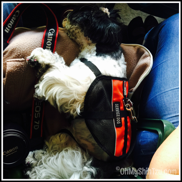 Camden Yards Shih Tzu Travel