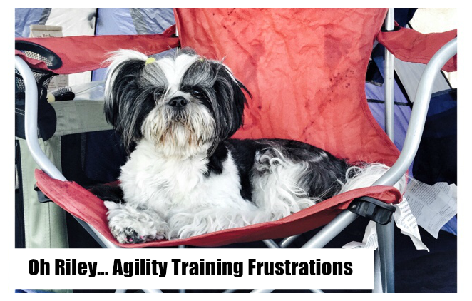 Oh Riley, Come On … Shih Tzu Agility Training Frustrations