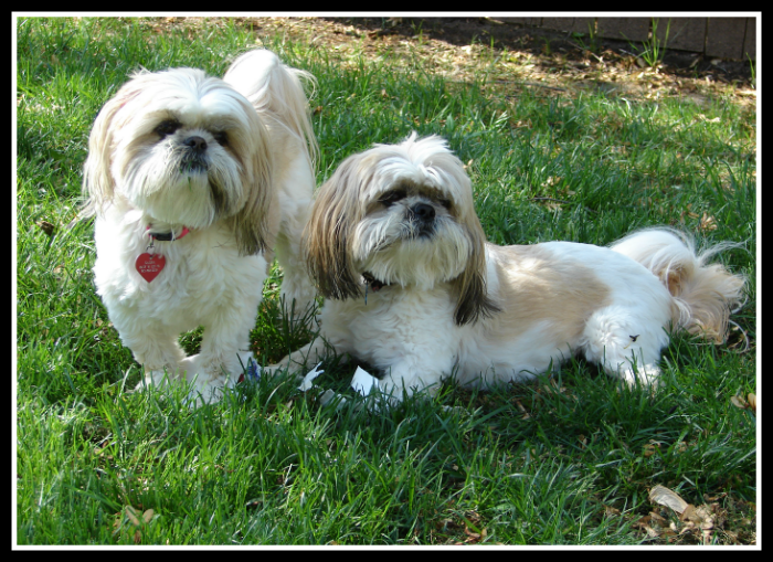 Super Shih Tzu Saturday