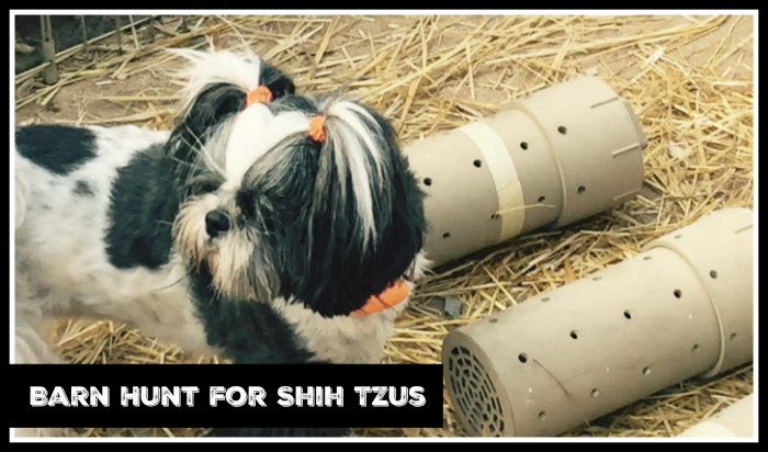 Barn Hunt for Shih Tzus
